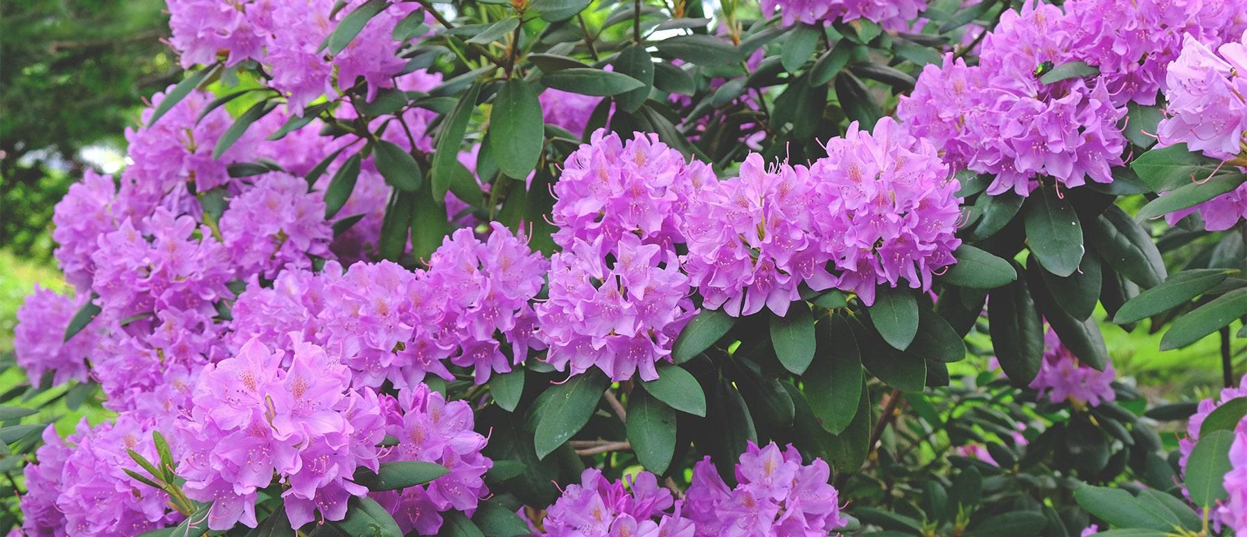 Bluehende Pflanzen dank einer Rhododendronerde